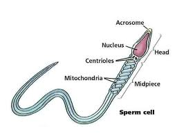 Nil Sperm in semen, Low Sperm Count, Azoospermia,